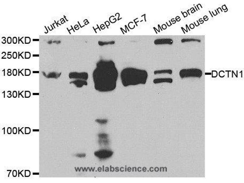 Western Blotting (WB) image for anti-Dynactin 1 (DCTN1) antibody (ABIN2404638)