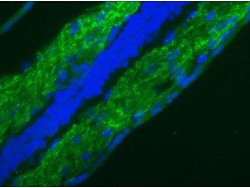 Immunofluorescence (IF) image for anti-Lamin B1 (LMNB1) antibody (ABIN4330073)