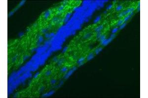Immunofluorescence (IF) image for anti-Lamin B1 antibody (LMNB1) (ABIN4330073)