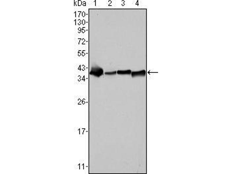 Western Blotting (WB) image for anti-Nucleophosmin (Nucleolar phosphoprotein B23, Numatrin) (NPM1) antibody (ABIN969325)