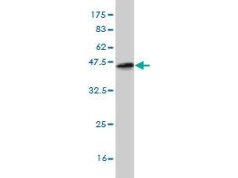 Western Blotting (WB) image for anti-Ets Variant 5 (ETV5) (AA 181-291) antibody (ABIN396777)
