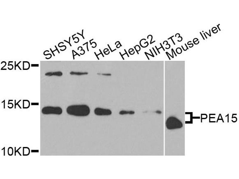 Image no. 1 for anti-phosphoprotein Enriched in Astrocytes 15 (PEA15) antibody (ABIN6572093)