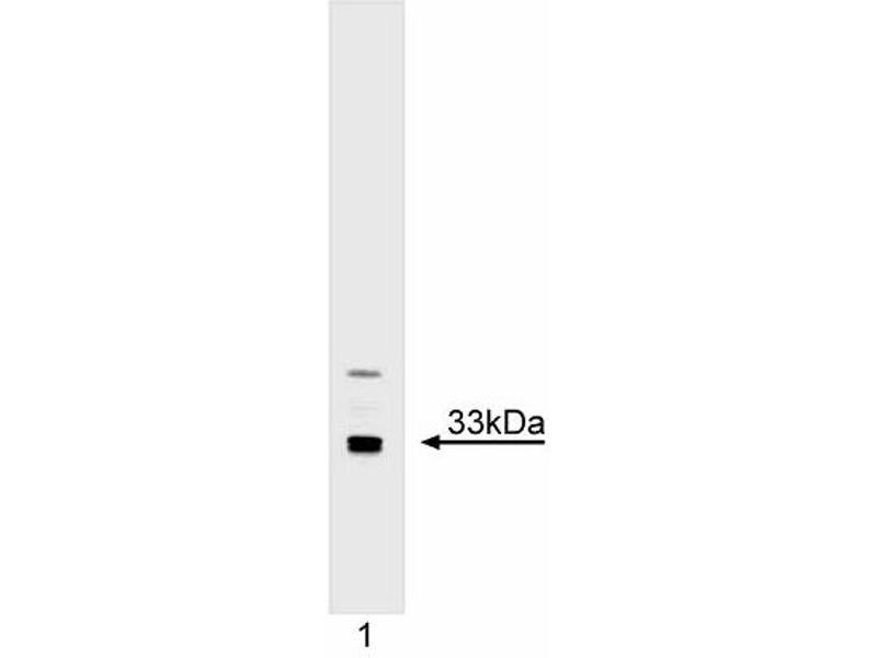 Western Blotting (WB) image for anti-CDK2 antibody (Cyclin-Dependent Kinase 2) (AA 287-298) (ABIN967634)