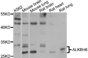 Image no. 1 for anti-AlkB, Alkylation Repair Homolog 6 (E. Coli) (ALKBH6) antibody (ABIN4902898)