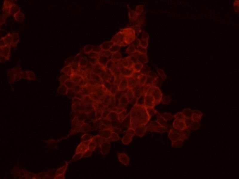 Immunofluorescence (IF) image for anti-HER2 antibody (V-Erb-B2 erythroblastic Leukemia Viral Oncogene Homolog 2, Neuro/glioblastoma Derived Oncogene Homolog (Avian)) (AA 1-652) (PE) (ABIN1995358)