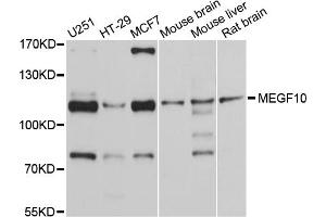 Image no. 1 for anti-Multiple EGF-Like-Domains 10 (MEGF10) antibody (ABIN6566961)