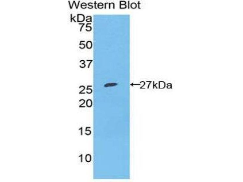 Western Blotting (WB) image for anti-Fibroblast Growth Factor Receptor-Like 1 (FGFRL1) (AA 164-368) antibody (ABIN1858883)