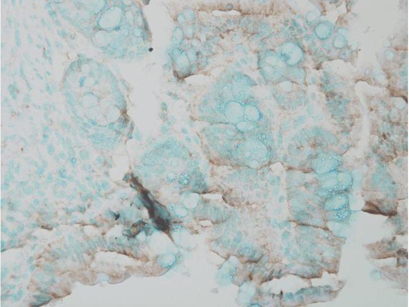Immunohistochemistry (IHC) image for anti-Mitogen-Activated Protein Kinase 3 (MAPK3) antibody (Atto 594) (ABIN2486607)
