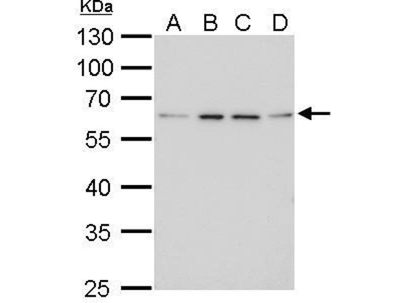 Western Blotting (WB) image for anti-Fibroblast Growth Factor Receptor-Like 1 (FGFRL1) (Center) antibody (ABIN2855700)