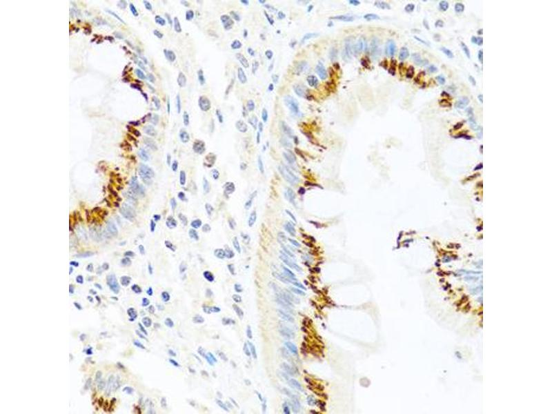 Image no. 1 for anti-Family with Sequence Similarity 3, Member B (FAM3B) antibody (ABIN6567029)