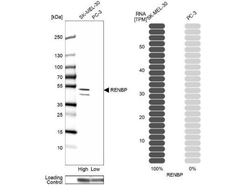 Western Blotting (WB) image for anti-Renin Binding Protein (RENBP) antibody (ABIN4349989)