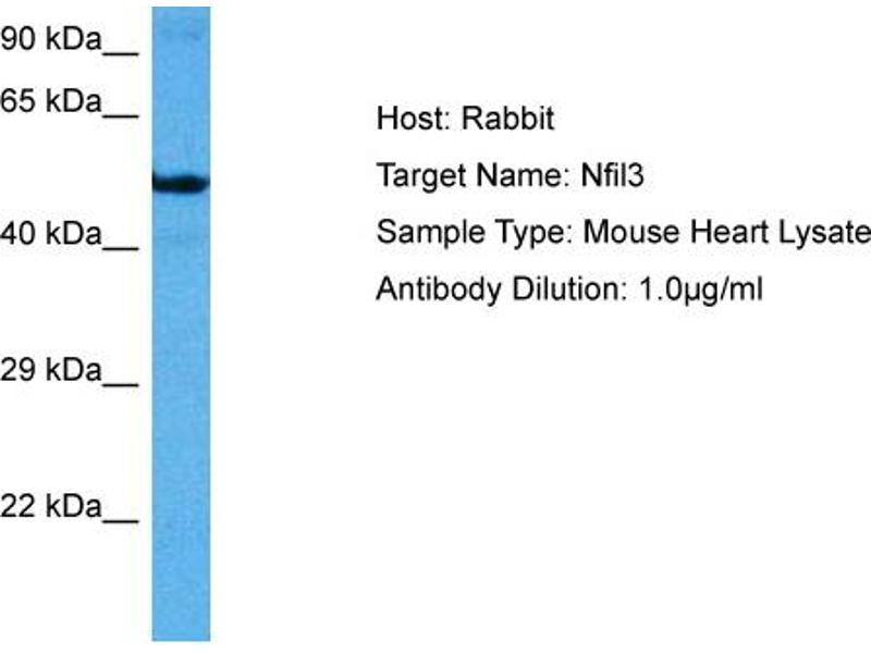 Image no. 1 for anti-Nuclear Factor, Interleukin 3 Regulated (NFIL3) (Middle Region) antibody (ABIN2777219)