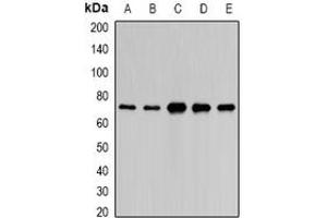 Image no. 1 for anti-Poly(A) Binding Protein Interacting Protein 1 (PAIP1) (full length) antibody (ABIN6005896)