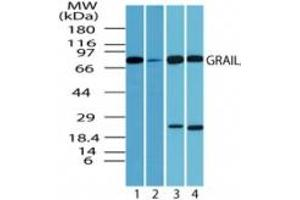 Image no. 3 for anti-Ring Finger Protein 128 (RNF128) (AA 227-253) antibody (ABIN207733)