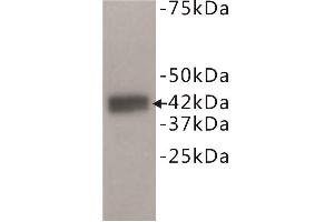 Image no. 1 for anti-Dual Specificity Phosphatase 5 (DUSP5) antibody (ABIN1854885)