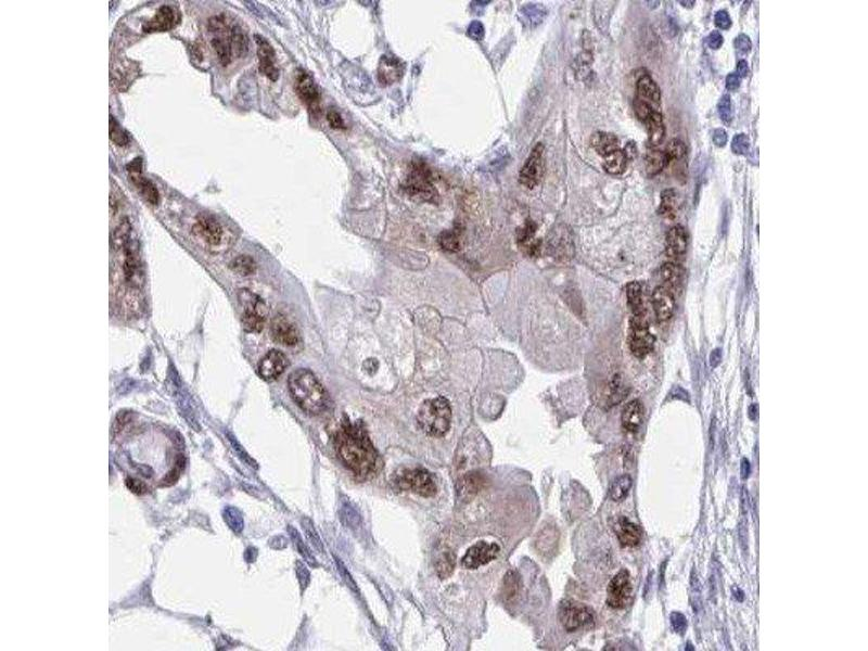 Immunohistochemistry (IHC) image for anti-RNA Binding Protein with Multiple Splicing (RBPMS) antibody (ABIN4349702)