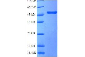 Image no. 1 for Tumor Necrosis Factor (Ligand) Superfamily, Member 14 (TNFSF14) (AA 1-239), (partial) protein (GST tag) (ABIN1047820)