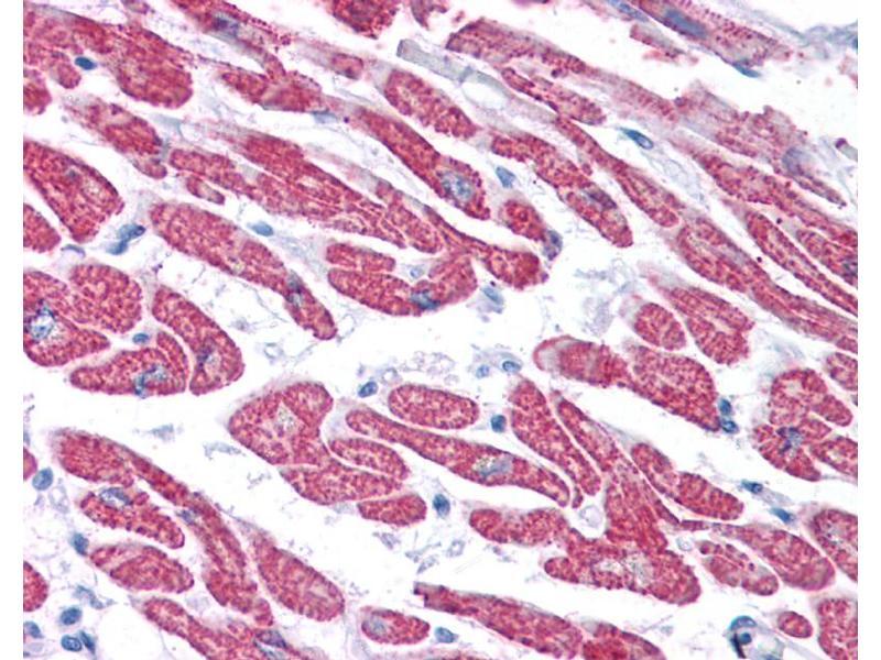 Immunohistochemistry (IHC) image for anti-Glutathione Peroxidase 4 (GPX4) (Middle Region) antibody (ABIN504477)