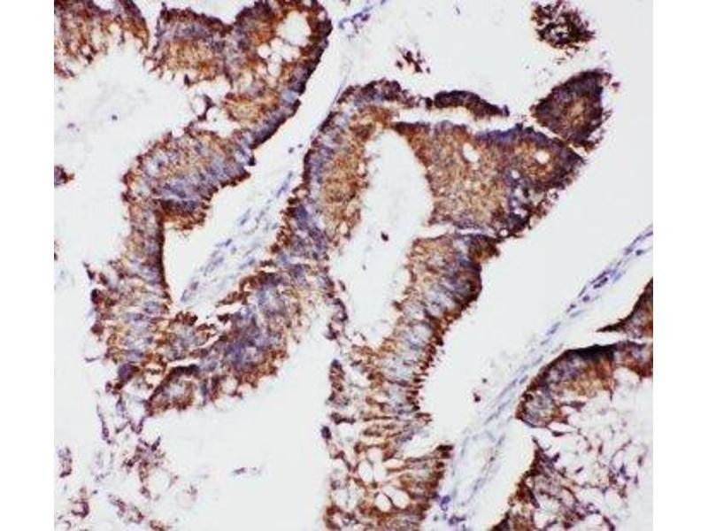 Immunohistochemistry (IHC) image for anti-Transcription Factor A, Mitochondrial (TFAM) (C-Term) antibody (ABIN3029197)