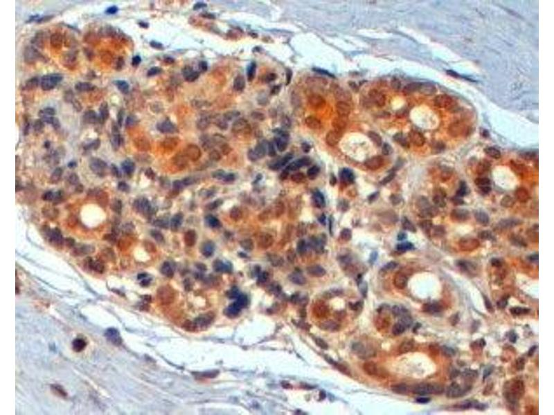 Immunohistochemistry (Paraffin-embedded Sections) (IHC (p)) image for anti-WNT3 antibody (Wingless-Type MMTV Integration Site Family, Member 3) (Internal Region) (ABIN2560784)