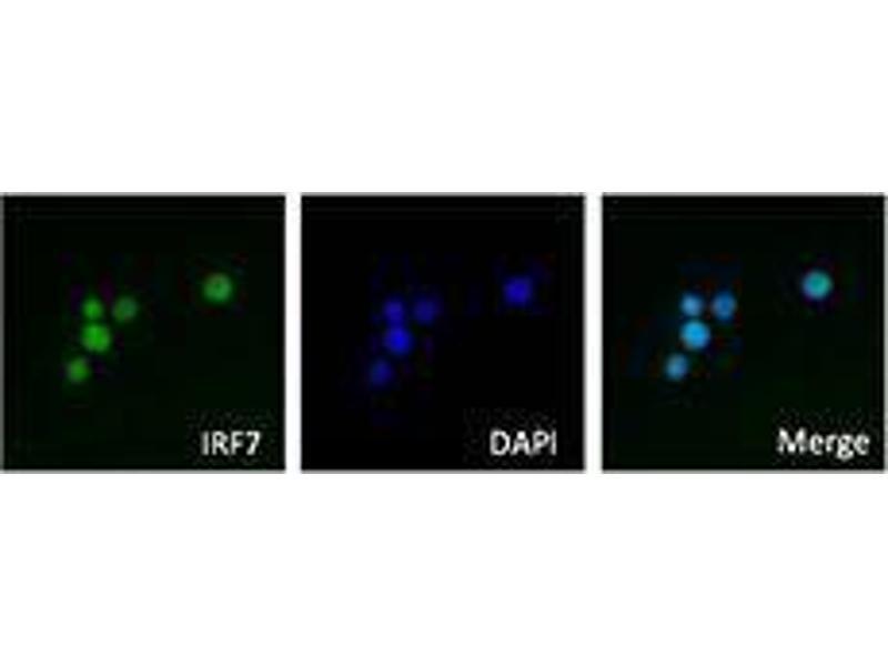 Immunofluorescence (IF) image for anti-Interferon Regulatory Factor 7 (IRF7) antibody (ABIN2666280)