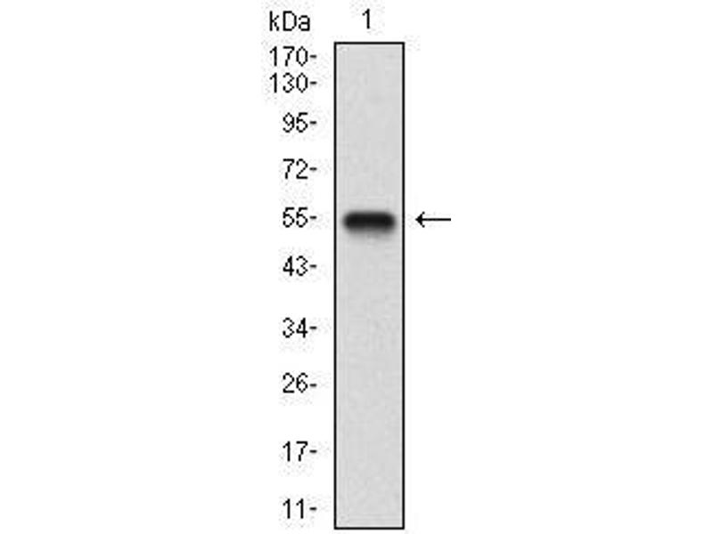 Western Blotting (WB) image for anti-Brain-Derived Neurotrophic Factor (BDNF) (AA 19-248) antibody (ABIN1724944)