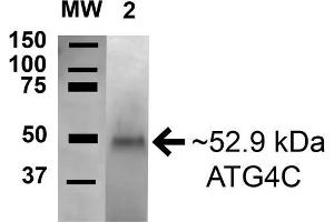 Image no. 2 for anti-Autophagy related 4C Cysteine Peptidase (ATG4C) (AA 296-306) antibody (HRP) (ABIN5066060)