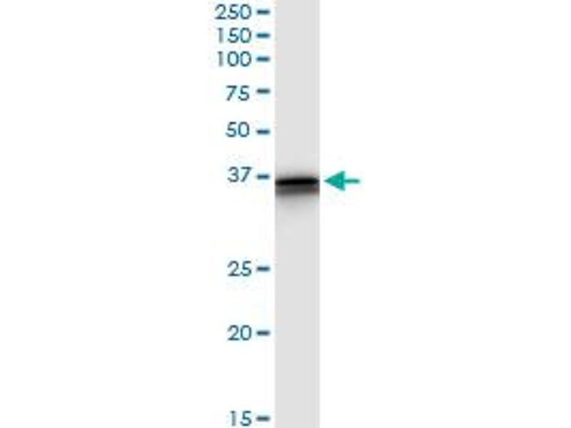 Immunoprecipitation (IP) image for anti-Neuregulin 1 (NRG1) (AA 1-241) antibody (ABIN516427)