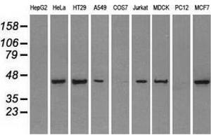 Image no. 1 for anti-Protein Phosphatase 1, Regulatory Subunit 7 (PPP1R7) antibody (ABIN2729482)
