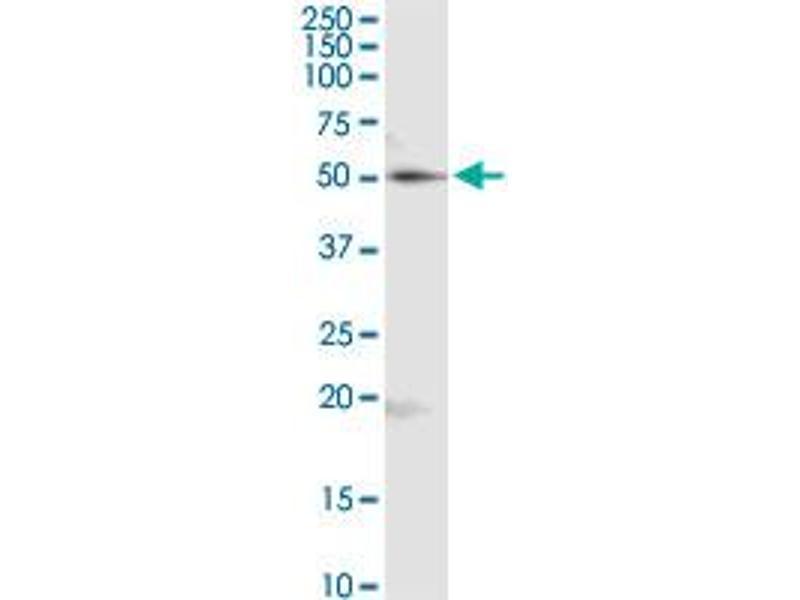 Western Blotting (WB) image for anti-RuvB-Like 2 (E. Coli) (RUVBL2) (AA 1-463), (full length) antibody (ABIN524255)
