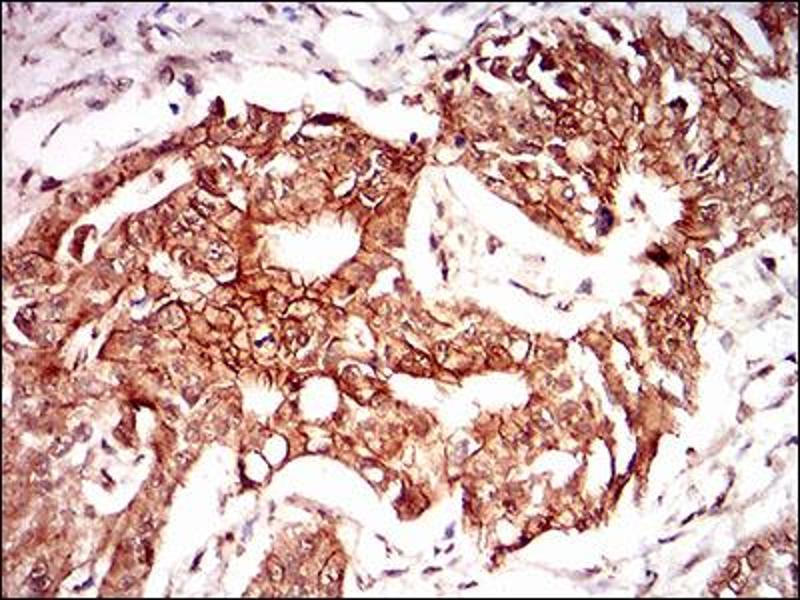 Image no. 2 for anti-Paraoxonase 1 (PON1) (AA 20-155) antibody (ABIN1724910)