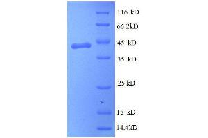 Image no. 1 for Peripheral Myelin Protein 2 (PMP2) (AA 1-132), (full length) protein (GST tag) (ABIN1608063)