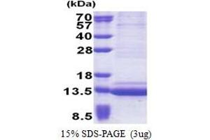 Image no. 1 for Epithelial Mitogen Homolog (Mouse) (EPGN) (AA 23-110) protein (His tag) (ABIN5853246)
