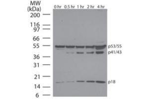 Western Blotting (WB) image for anti-Caspase 8 antibody (Caspase 8, Apoptosis-Related Cysteine Peptidase) (Proform) (ABIN252488)