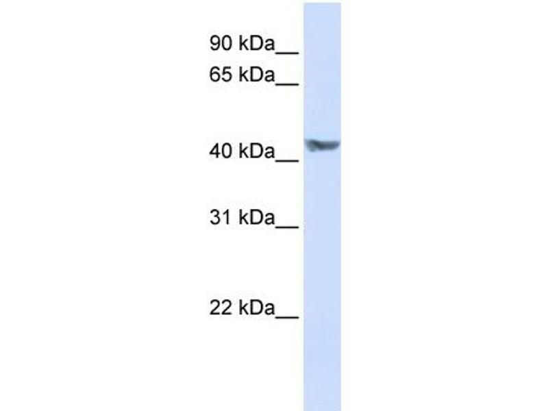 Western Blotting (WB) image for anti-Pyruvate Dehydrogenase Kinase, Isozyme 3 (PDK3) (N-Term) antibody (ABIN2782501)