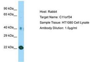 Image no. 1 for anti-Chromosome 11 Open Reading Frame 34 (C11orf34) (AA 81-130) antibody (ABIN6750162)