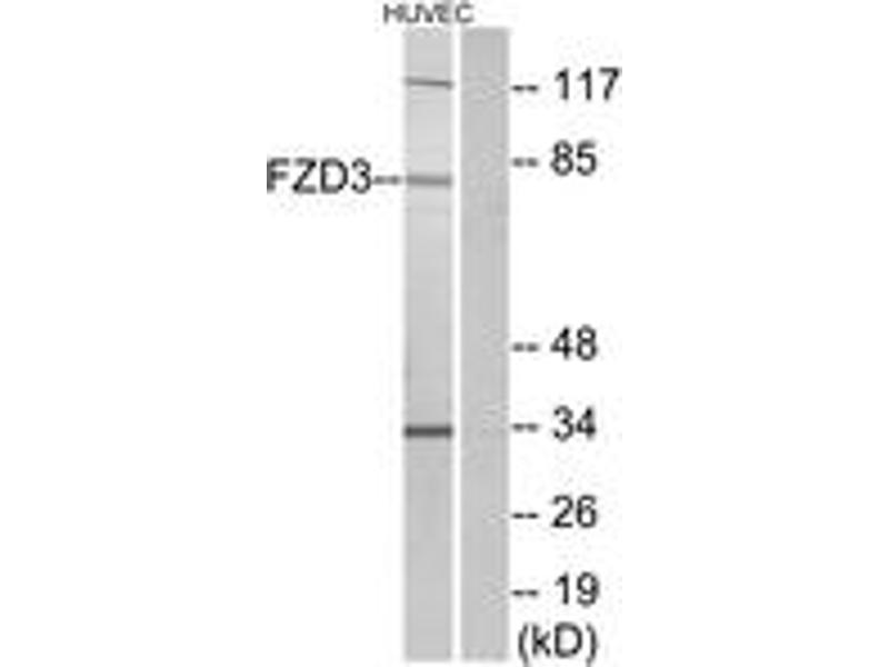 Western Blotting (WB) image for anti-FZD3 antibody (Frizzled Family Receptor 3) (ABIN1535681)