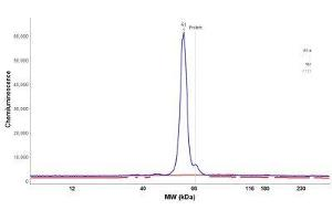 Simple Western (SimWes) image for anti-Polynucleotide Kinase 3'-Phosphatase (PNKP) antibody (ABIN4346526)