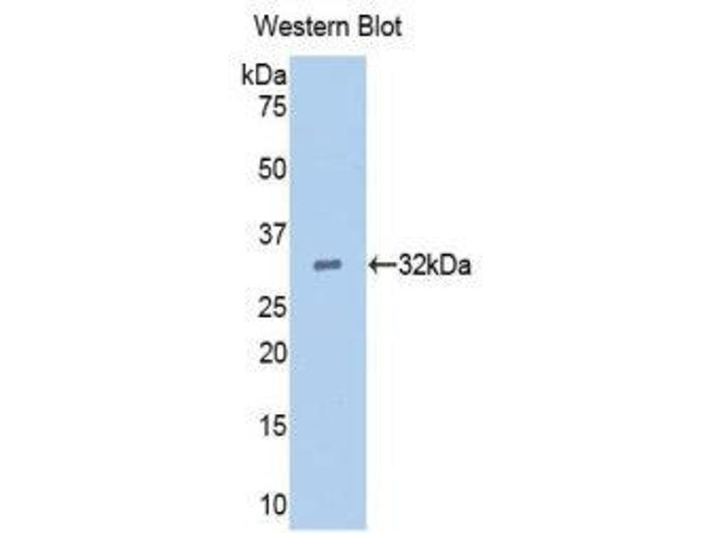 Western Blotting (WB) image for anti-Epidermal Growth Factor (EGF) (AA 45-275) antibody (ABIN1173137)