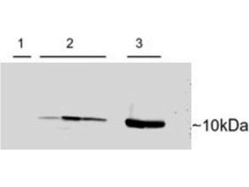 image for anti-Parvalbumin (PVALB) (C-Term) antibody (ABIN374572)