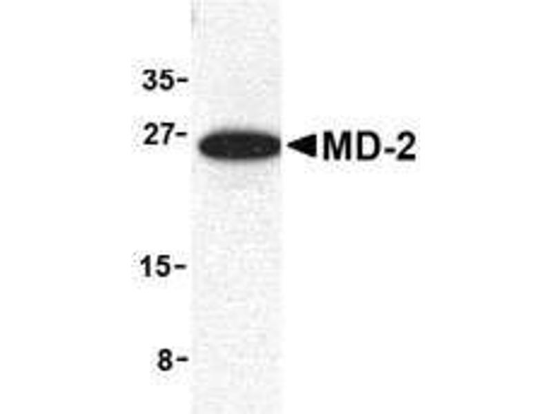 Western Blotting (WB) image for anti-Lymphocyte Antigen 96 (LY96) antibody (ABIN187911)