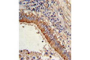 Image no. 3 for anti-Major Vault Protein (MVP) antibody (ABIN3002553)