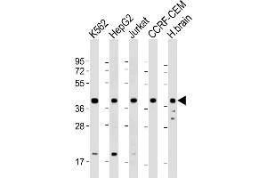 Image no. 2 for anti-Peptidylprolyl Isomerase D (PPID) (AA 336-370) antibody (ABIN5533624)