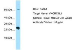 Image no. 1 for anti-Vitamin K Epoxide Reductase Complex, Subunit 1-Like 1 (VKORC1L1) (C-Term) antibody (ABIN6750080)