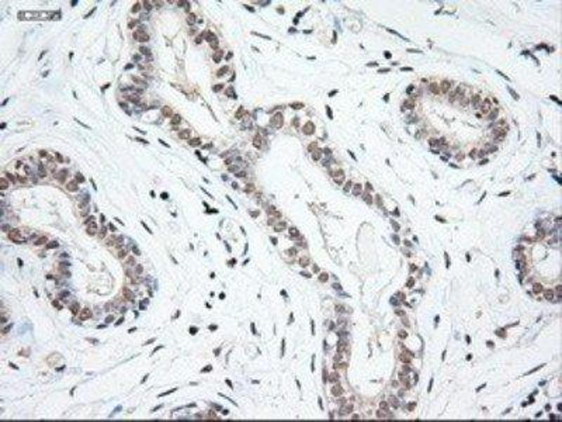 Immunohistochemistry (Paraffin-embedded Sections) (IHC (p)) image for anti-Neurotrophin 3 (NTF3) (Transcript Variant 1) antibody (ABIN4338892)