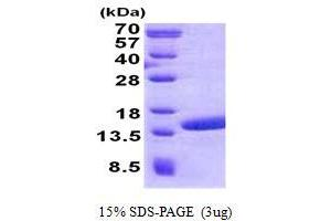 Image no. 1 for Polymerase (RNA) II (DNA Directed) Polypeptide J2 (POLR2J2) protein (His tag) (ABIN1098534)