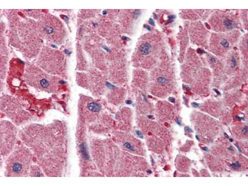 Immunohistochemistry (Paraffin-embedded Sections) (IHC (p)) image for anti-Inositol 1,4,5-Trisphosphate Receptor, Type 2 (ITPR2) (AA 1152-1164) antibody (ABIN461932)