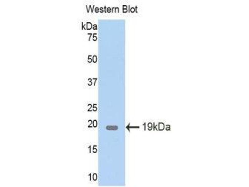 Western Blotting (WB) image for anti-Pleiotrophin (PTN) (AA 33-168) antibody (ABIN1174474)
