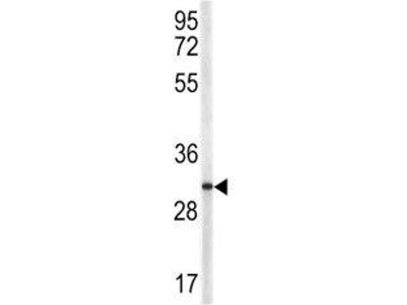 Western Blotting (WB) image for anti-CD40 Ligand antibody (CD40LG) (AA 33-62) (ABIN3028551)