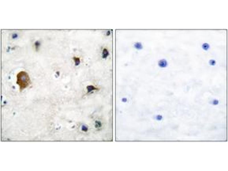 Image no. 2 for anti-Gap Junction Protein, alpha 1, 43kDa (GJA1) (AA 333-382) antibody (ABIN483857)